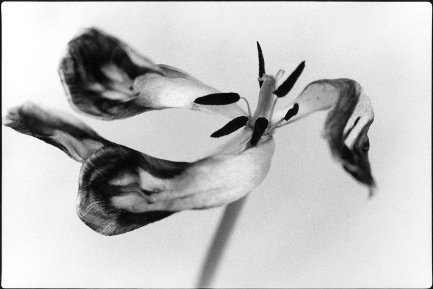 Tango Tulip II © Marilyn Sanders