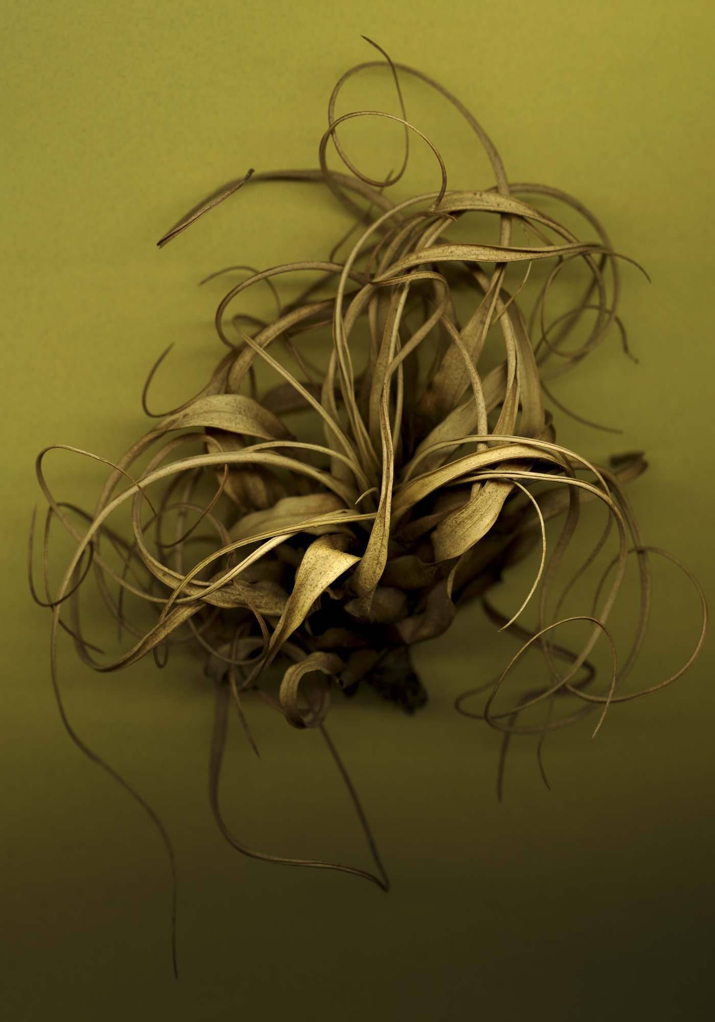 Tillandsia, Yellow © Bob Francis
