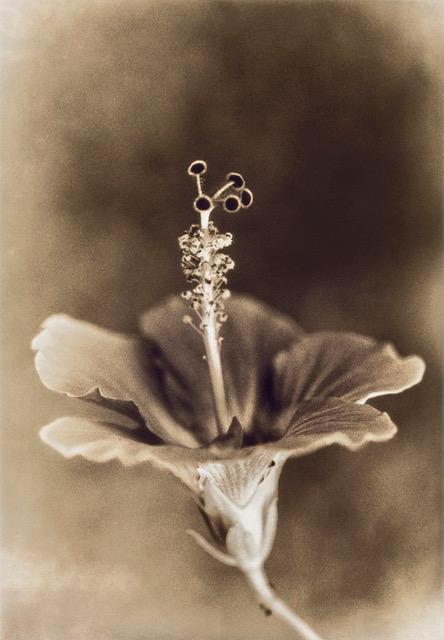 Hibiscus © Marilyn Sanders